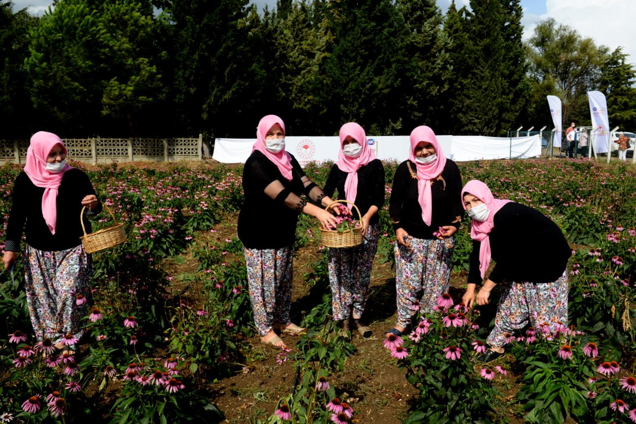 Kadın çiftçiler ekinezya üretimine başladı